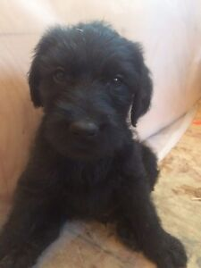 5 labradoodle puppies ready November 6th