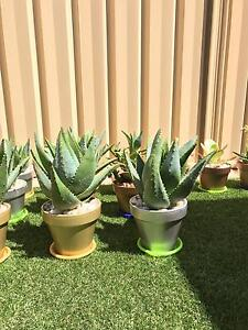 X26 avail 30cm high succulents in GOLD/COPPER/SILVER Italian made pots Balcatta Stirling Area Preview