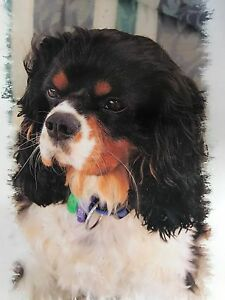 King Charles cavalier wanted Shearwater Latrobe Area Preview