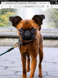 Looking for a Brussels Griffon