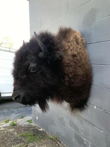 NEW, Western BISON /BUFFALO Shoulder Mount  Log Cabin Hunting Lodge Taxidermy