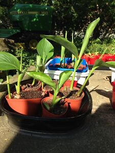 Red canna lilies started in March.