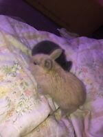 Baby bunny for sale