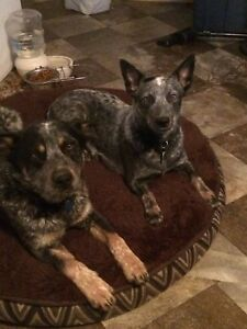 Purebred Blue Heeler puppies for sale