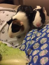 Baby Guinea pigs Nedlands Nedlands Area Preview
