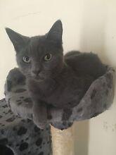 Russian Blue Kitten + Accessories MUST GO Hurstville Hurstville Area Preview
