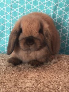 Rosewood Rabbitry: Adorable Holland Lop Male