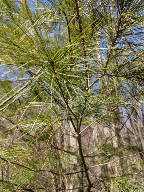 White Pine Needles: Harvested at time of order! Wild and Fresh!Suramin/Shikimic