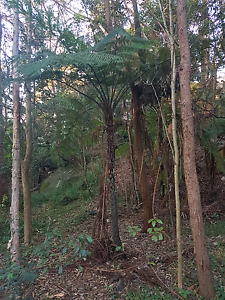 Cyathea cooperi wanted Cremorne North Sydney Area Preview