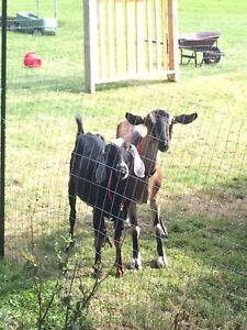 In Search of a Male Goat in Hampton Area