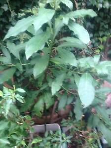 AVACADO AND MONGO TREES,,IN VERY GOOD HEALTHY PLANT Hornsby Hornsby Area Preview