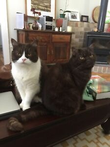 Bristish short hair cats looking for forever home