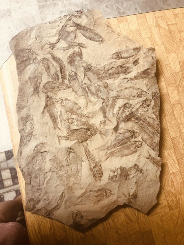 Wyoming Fish Fossil