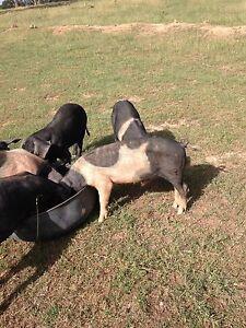 Pigs.  $110 each. 6mth old Saddle Back X Large Black boar pigs. Armidale Armidale City Preview