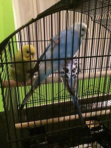 Budgies and King Quails for sale Ridgehaven Tea Tree Gully Area Preview