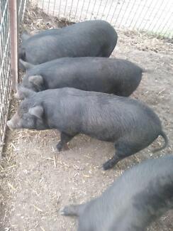 PIGS - 8 WEEK OLD PIGLETS - BERKSHIRE CROSS Cessnock Cessnock Area Preview