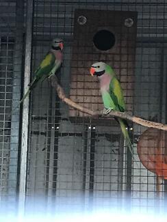Moustache parrots