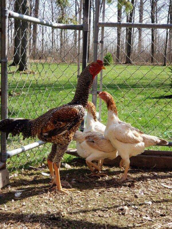 BigBird Cross: Rare 4