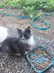 Ragdoll X Free to Good Home Only