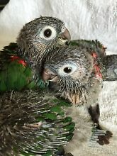 HANDRAISED BABY PEARLY CONURES Mudgeeraba Gold Coast South Preview