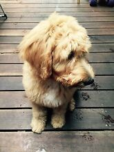 Golden Retriever x Standard Poodle (Groodle) - Reluctant Sale Caulfield North Glen Eira Area Preview