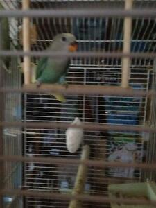 BABY PEACHFACE BIRD & BIRD CAGE