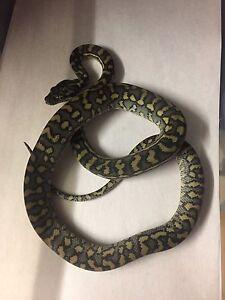 Coastal carpet pythons hatchlings Baxter Mornington Peninsula Preview