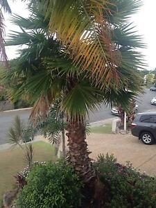 Palm tree for sale Merrimac Gold Coast City Preview