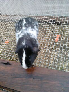 2x male guinea pigs and cage  Ballajura Swan Area Preview