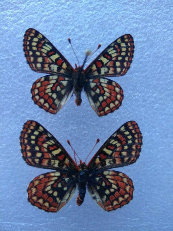 Euphydryas editha auritacus(Rare) PAIR