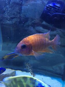 """5"""" Male Super Ruby Red Peacock Cichlid for sale"""