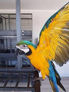 Blue & Gold Macaw baby..the ultimate bird to own Sydney City Inner Sydney Preview