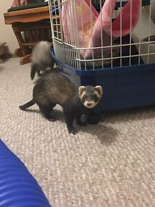 3 ferrets *price reduced *. Need gone asap
