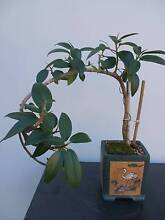 "BONSAI   - "" PORT JACKSON FIG"" Merrylands Parramatta Area Preview"