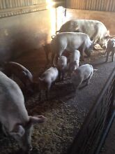 Piglets for sale Upper Swan Swan Area Preview