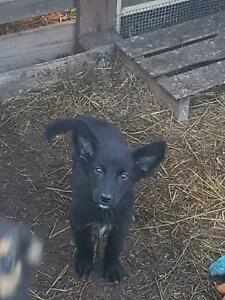 German shepherd x Border collie pup