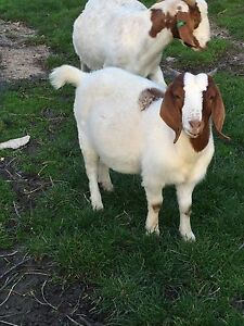 Boer Goat Does & Weathers Pipers River George Town Area Preview