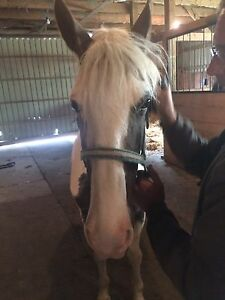 Beautiful Roan and White Gaited Tennessee Walking Horse
