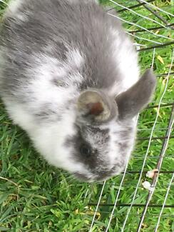 8 week old mini lop bunnies Narre Warren South Casey Area Preview