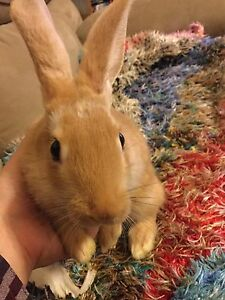 Baby bunnies for sale!!! *Cheap, loveable* *cobourg*