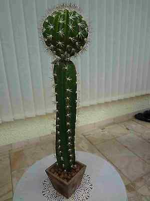 künstliche Kakteen  Kaktus Mix x 2-62cm