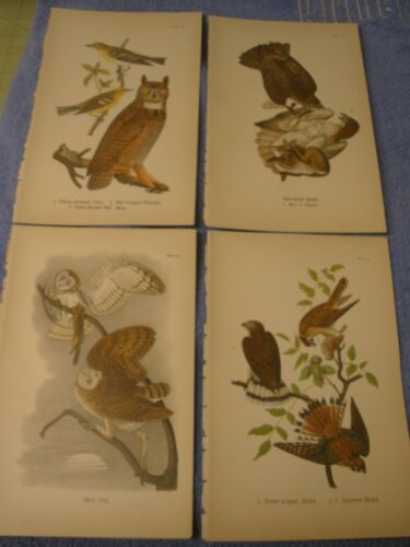 4 lot 1890 Chromolithograph, Color Bird Prints Antique Horned & Bar Owl, Hawks