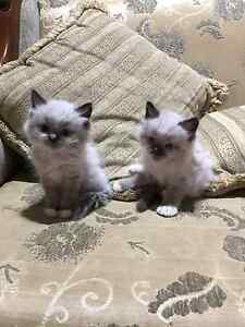 Pure ragdoll kittens Bankstown Bankstown Area Preview