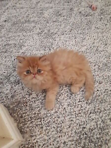 Chaton exotic Long haire