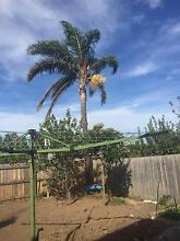 Palm Tree for sale Dandenong Greater Dandenong Preview