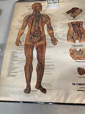 Vintage Anatomical Chart Of The Lymphatic System 20 X 25