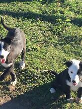Purebred Female Border Collie Gympie Gympie Area Preview