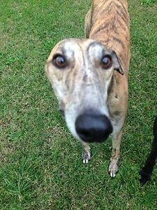 Greyhound  Give away to great home! Elermore Vale Newcastle Area Preview