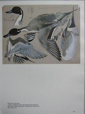 BEAUTIFUL TUNNICLIFFE BIRD PRINT ~ PINTAIL MALE