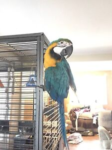 Blue and gold macaw 1.5 yr old
